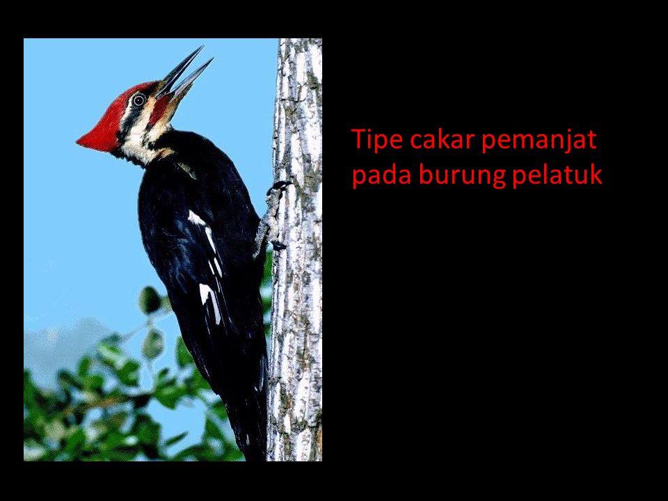 Tipe cakar pemanjat pada burung pelatuk