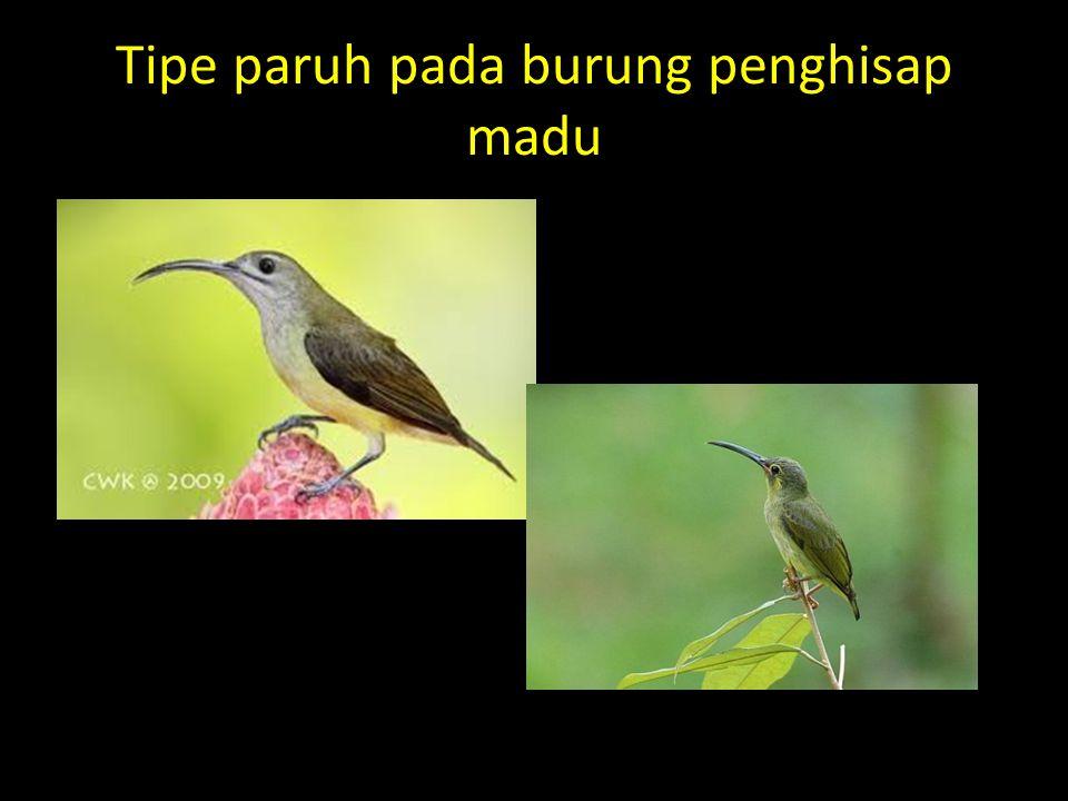 Tipe paruh pada burung penghisap madu