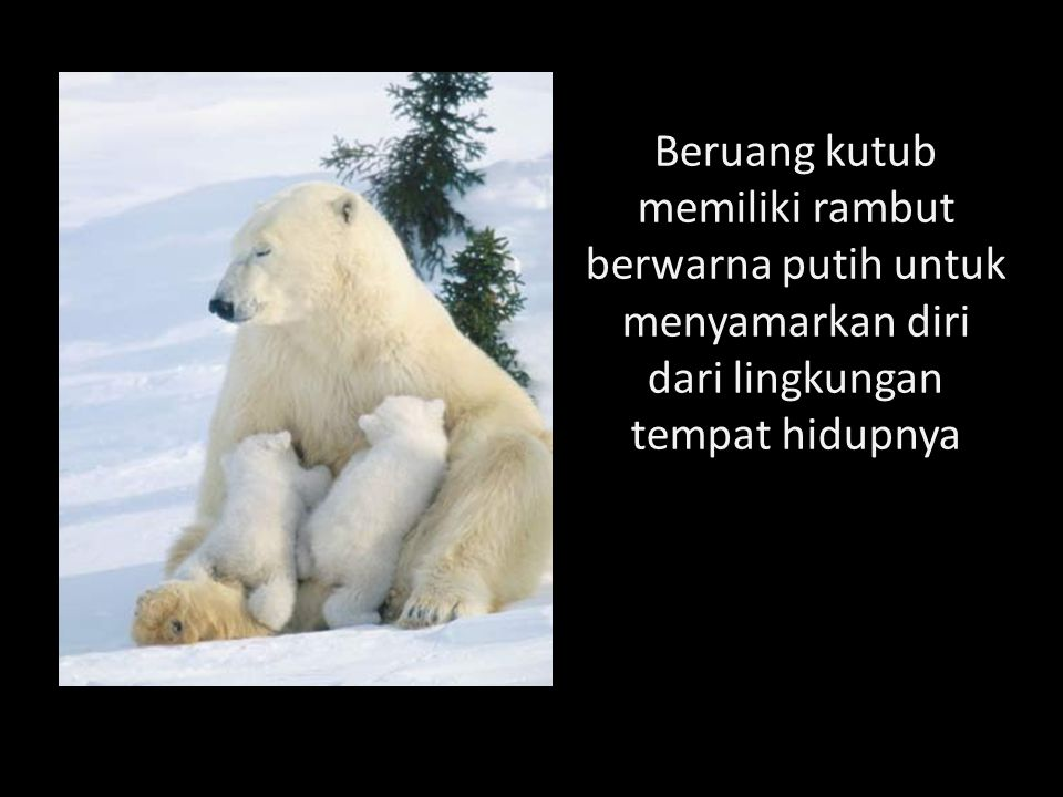Beruang kutub memiliki rambut berwarna putih untuk menyamarkan diri dari lingkungan tempat hidupnya