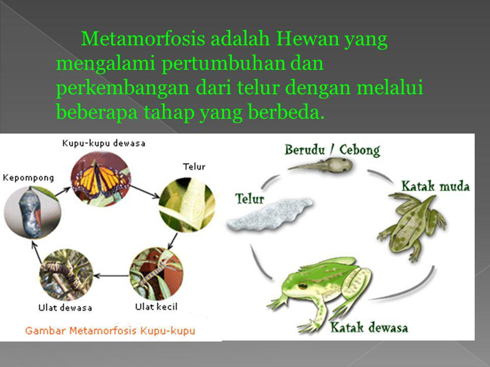 Metamorfosis adalah Hewan yang mengalami pertumbuhan dan perkembangan dari telur dengan melalui beberapa tahap yang berbeda.