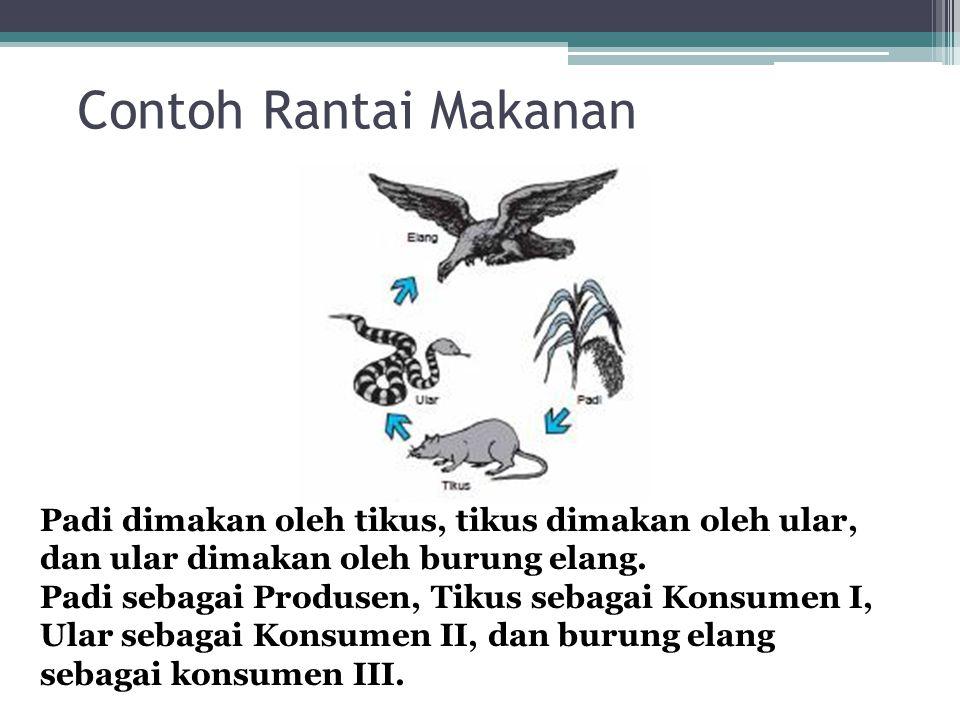 Contoh Rantai Makanan Padi dimakan oleh tikus, tikus dimakan oleh ular, dan ular dimakan oleh burung elang.