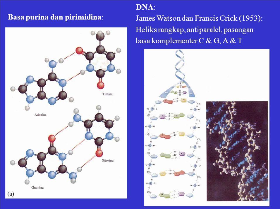 DNA: Basa purina dan pirimidina: James Watson dan Francis Crick (1953): Heliks rangkap, antiparalel, pasangan.