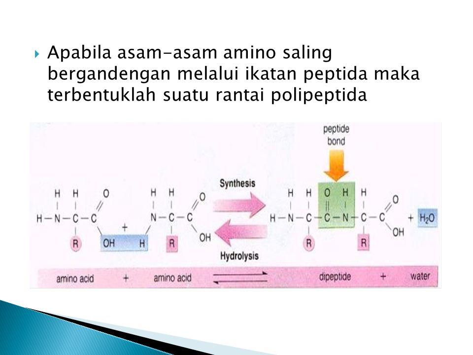 Apabila asam-asam amino saling bergandengan melalui ikatan peptida maka terbentuklah suatu rantai polipeptida