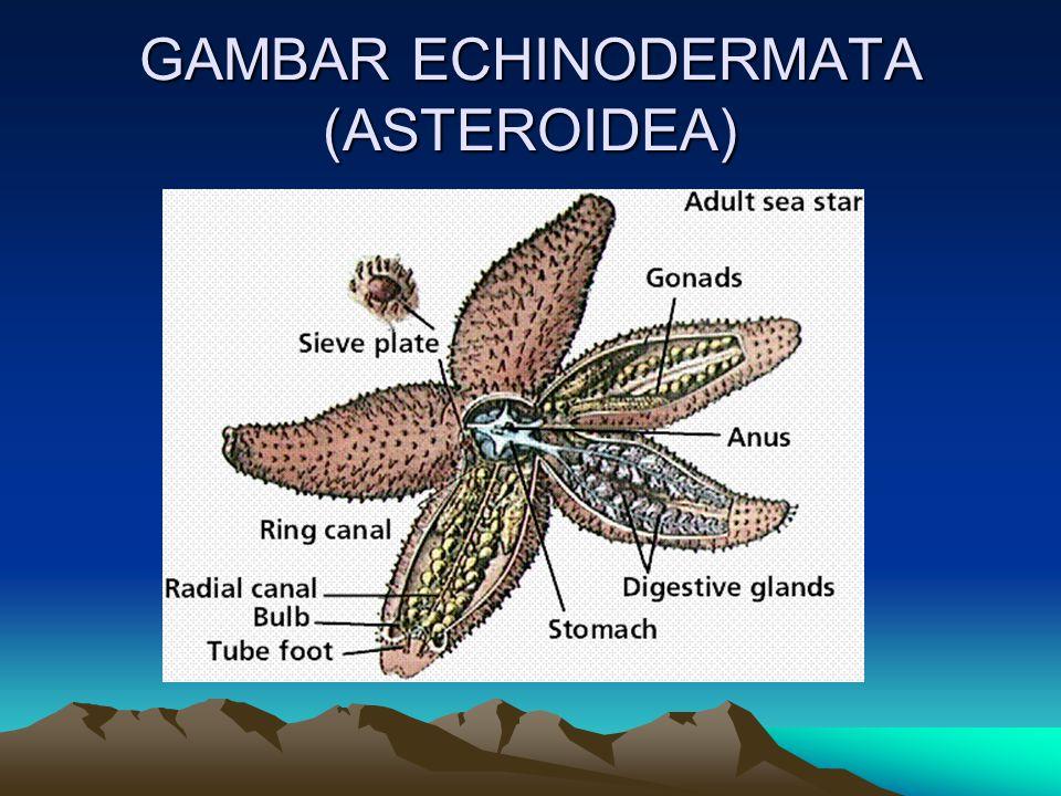 GAMBAR ECHINODERMATA (ASTEROIDEA)