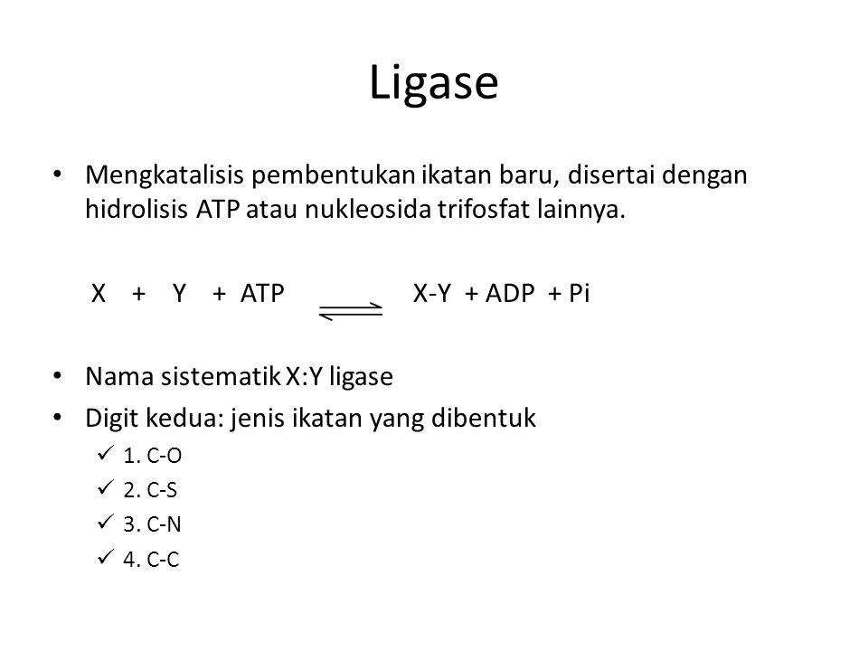 Ligase Mengkatalisis pembentukan ikatan baru, disertai dengan hidrolisis ATP atau nukleosida trifosfat lainnya.