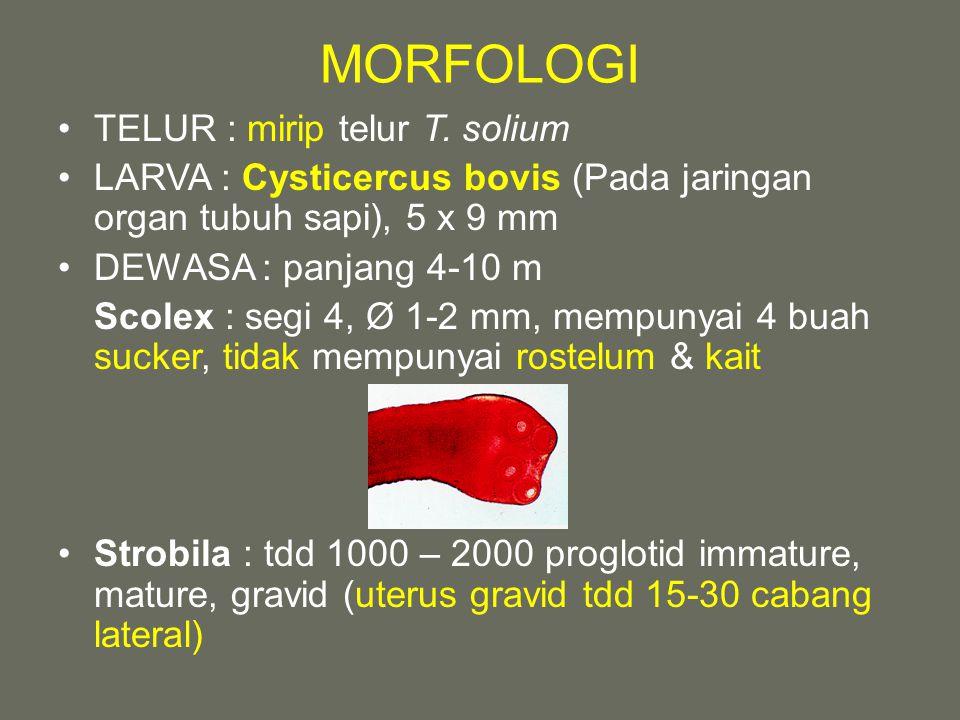 MORFOLOGI TELUR : mirip telur T. solium