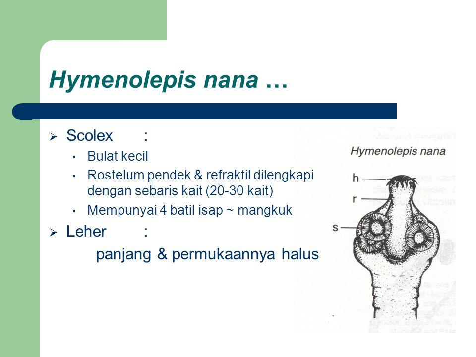Hymenolepis nana … Scolex : Leher : panjang & permukaannya halus