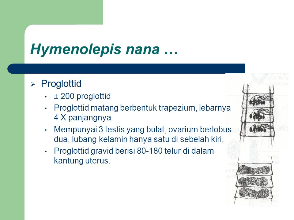 Hymenolepis nana … Proglottid ± 200 proglottid