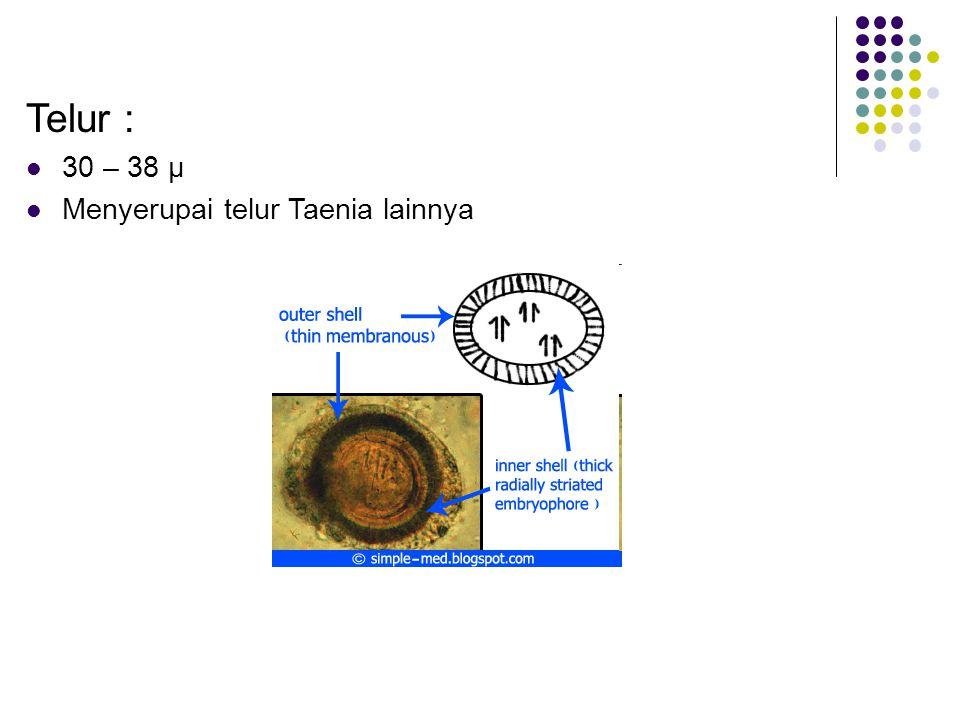 Telur : 30 – 38 µ Menyerupai telur Taenia lainnya