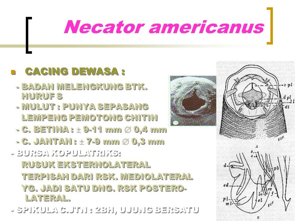 Necator americanus CACING DEWASA : - BADAN MELENGKUNG BTK. HURUF S
