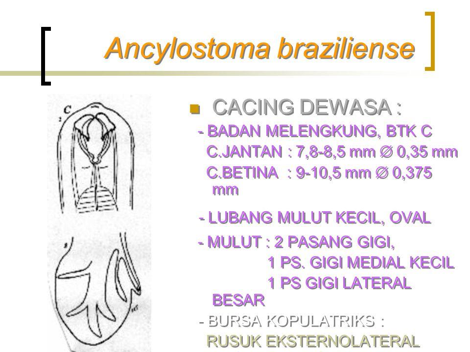 Ancylostoma braziliense