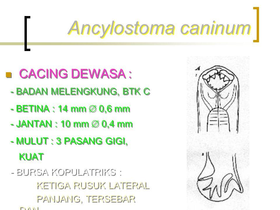 Ancylostoma caninum CACING DEWASA : - BADAN MELENGKUNG, BTK C