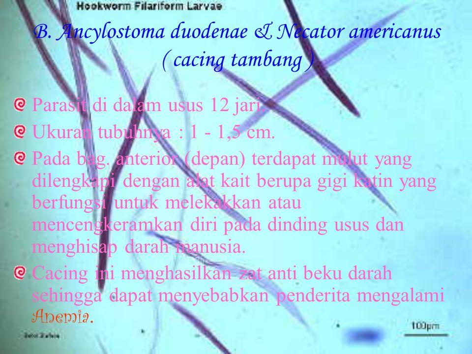 B. Ancylostoma duodenae & Necator americanus ( cacing tambang )