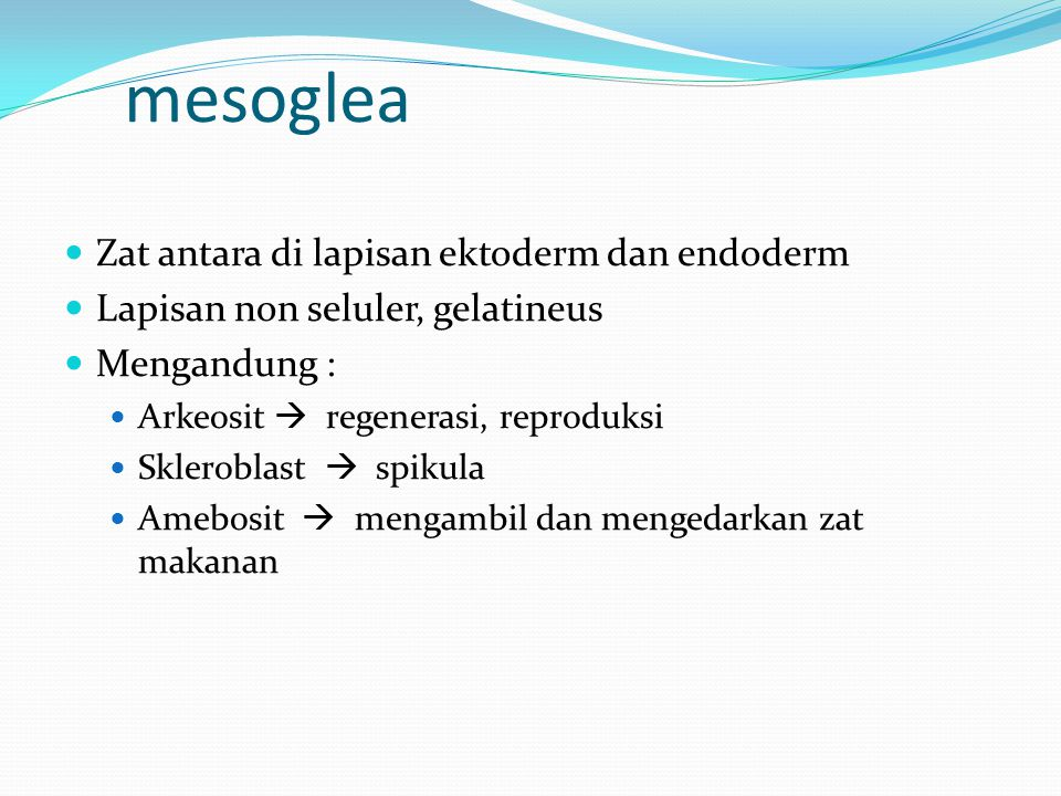 mesoglea Zat antara di lapisan ektoderm dan endoderm