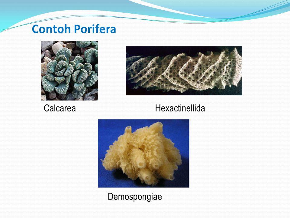 Contoh Porifera Calcarea Hexactinellida Demospongiae