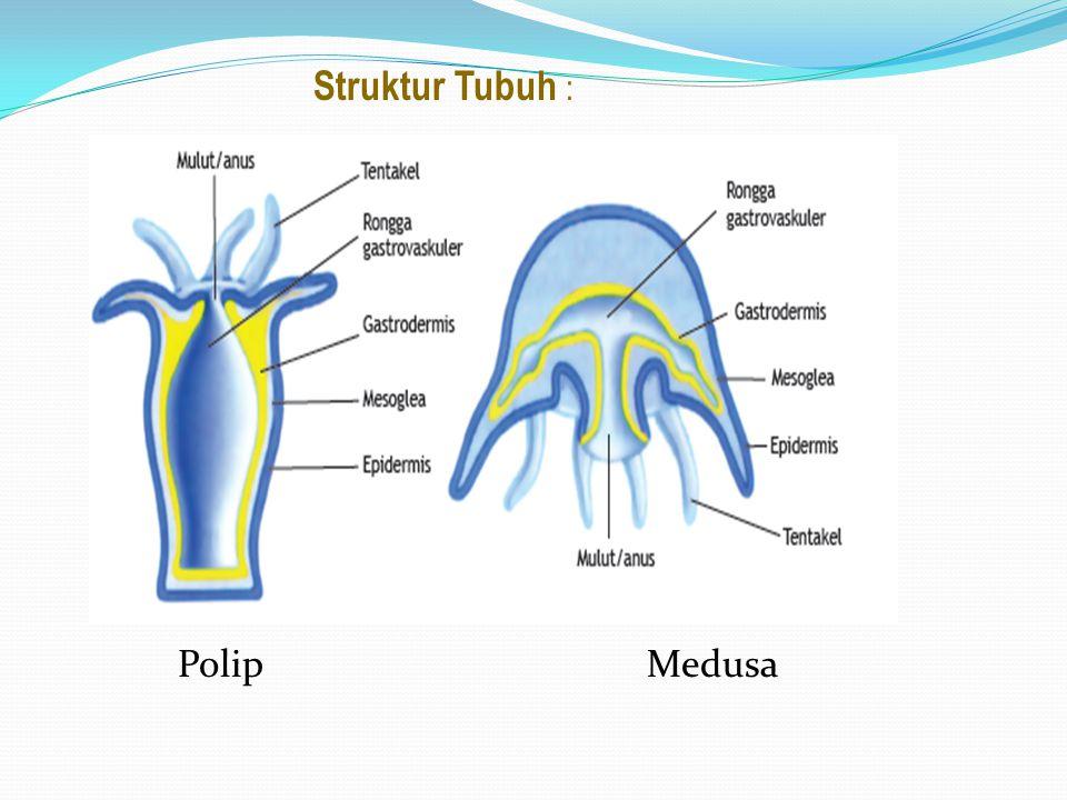Struktur Tubuh : Polip Medusa