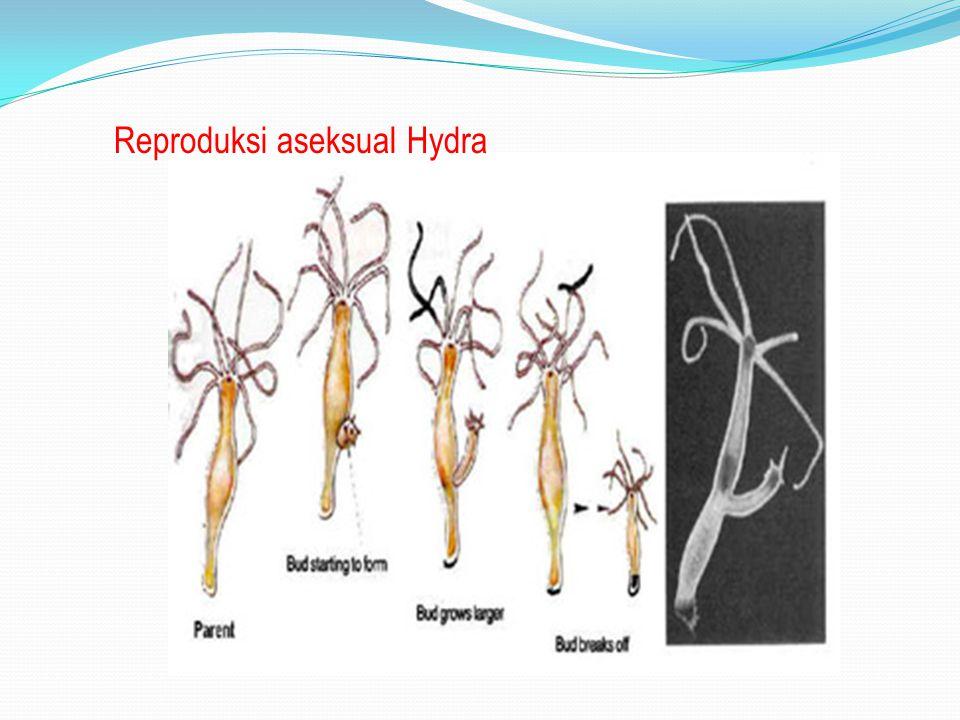 Reproduksi aseksual Hydra