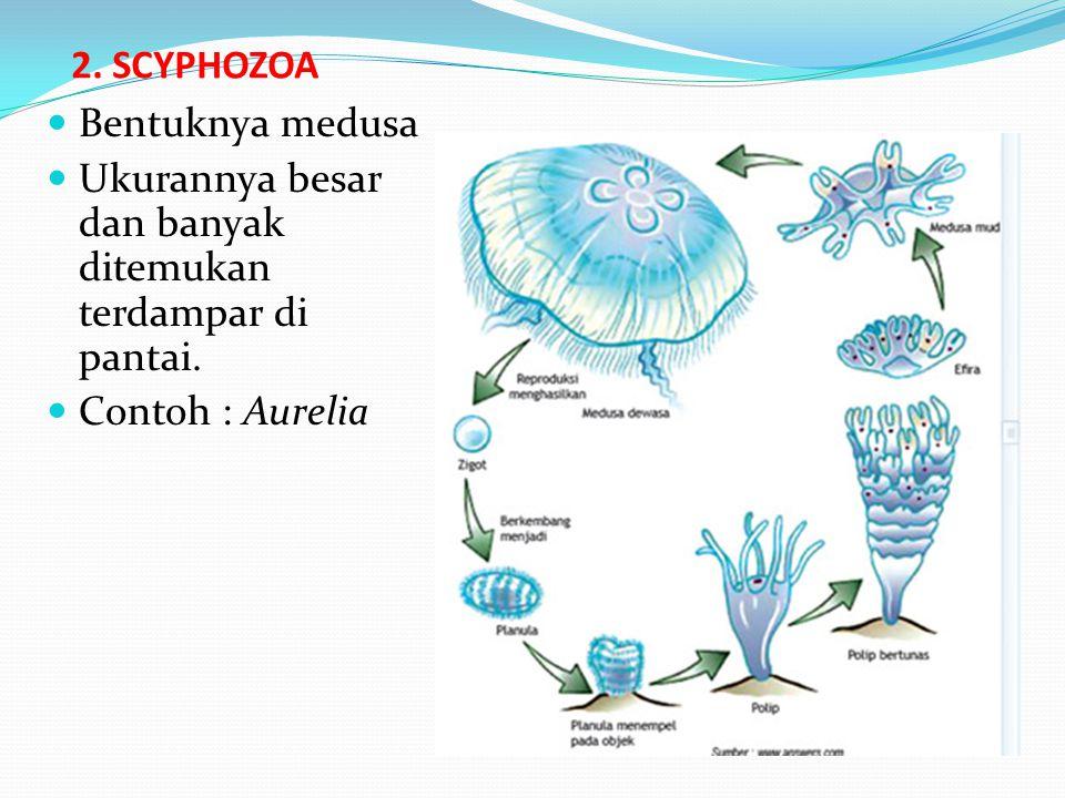2. SCYPHOZOA Bentuknya medusa. Ukurannya besar dan banyak ditemukan terdampar di pantai.