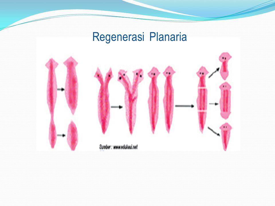 Regenerasi Planaria
