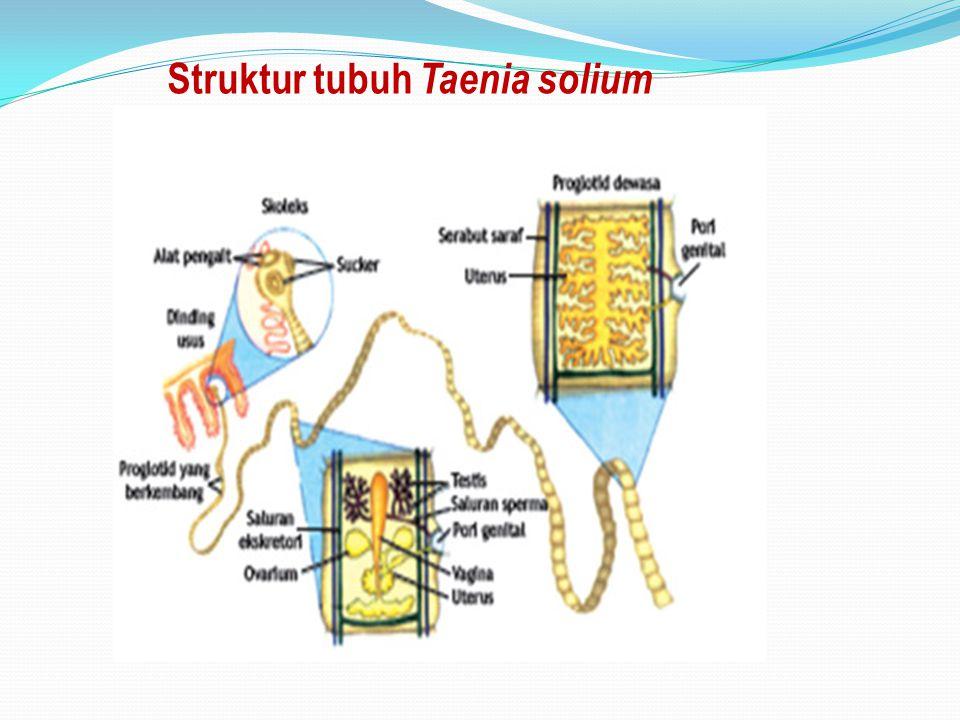 Struktur tubuh Taenia solium
