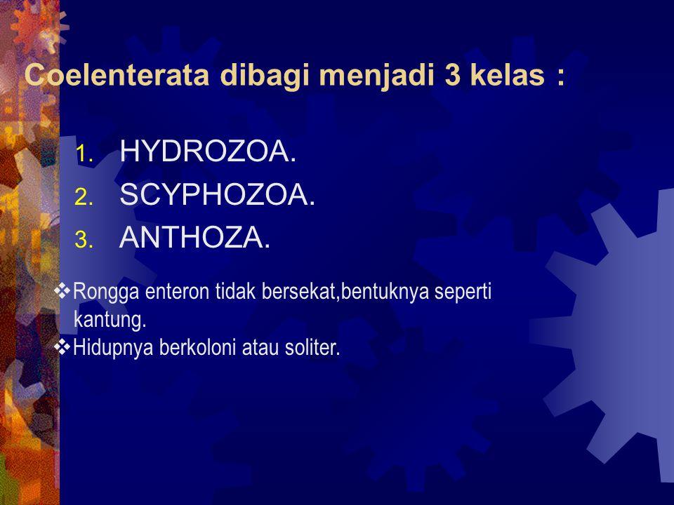 Coelenterata dibagi menjadi 3 kelas :