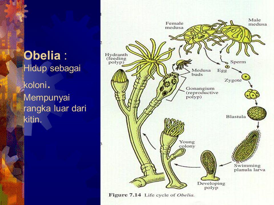 Obelia : Hidup sebagai koloni. Mempunyai rangka luar dari kitin.
