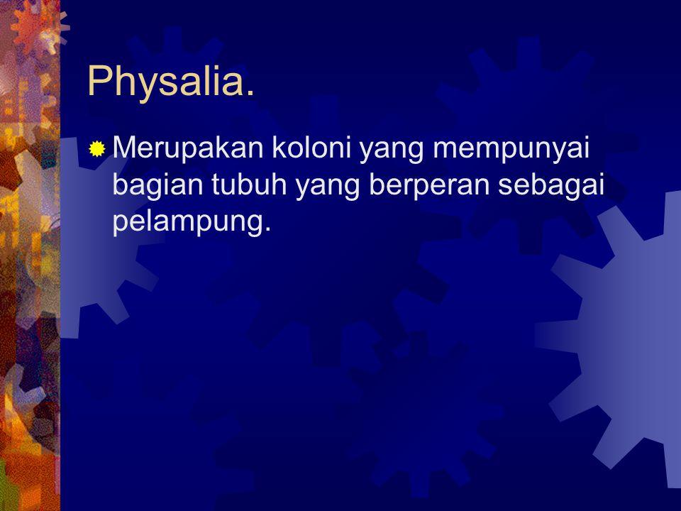 Physalia. Merupakan koloni yang mempunyai bagian tubuh yang berperan sebagai pelampung.
