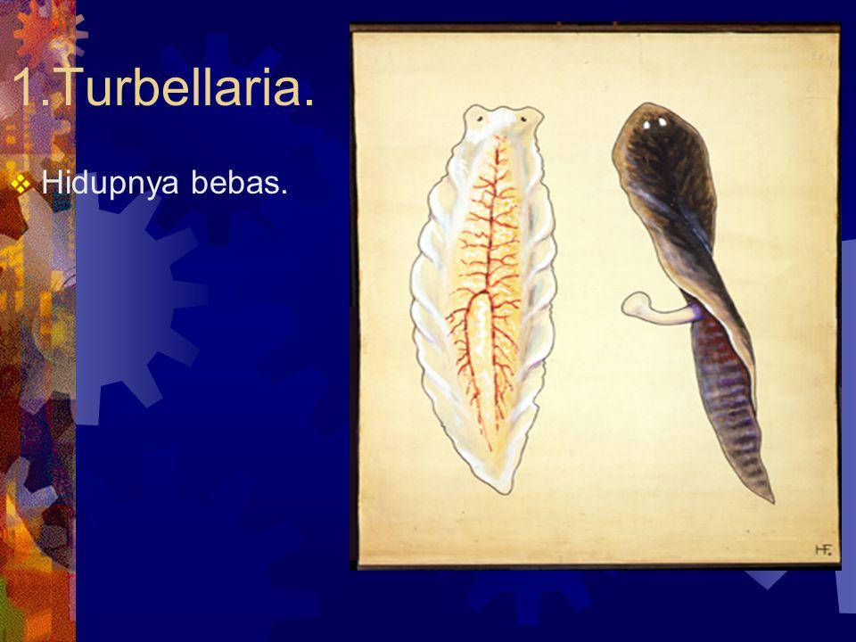 1.Turbellaria. Hidupnya bebas.
