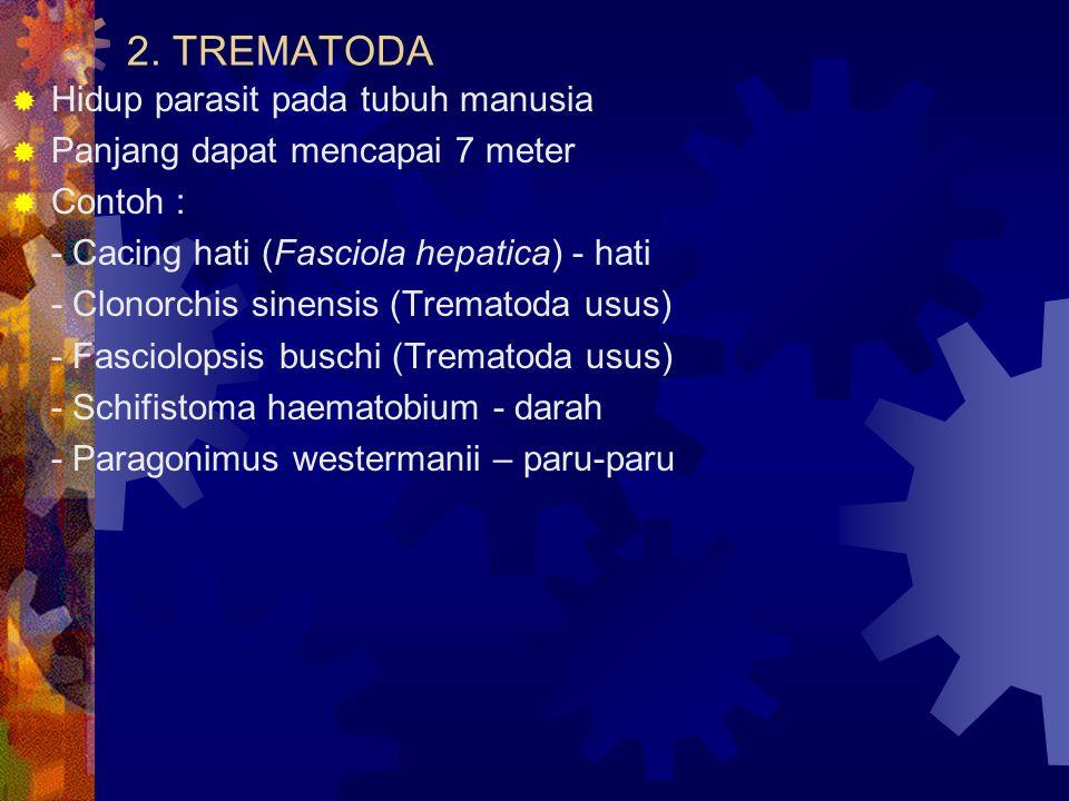 2. TREMATODA Hidup parasit pada tubuh manusia