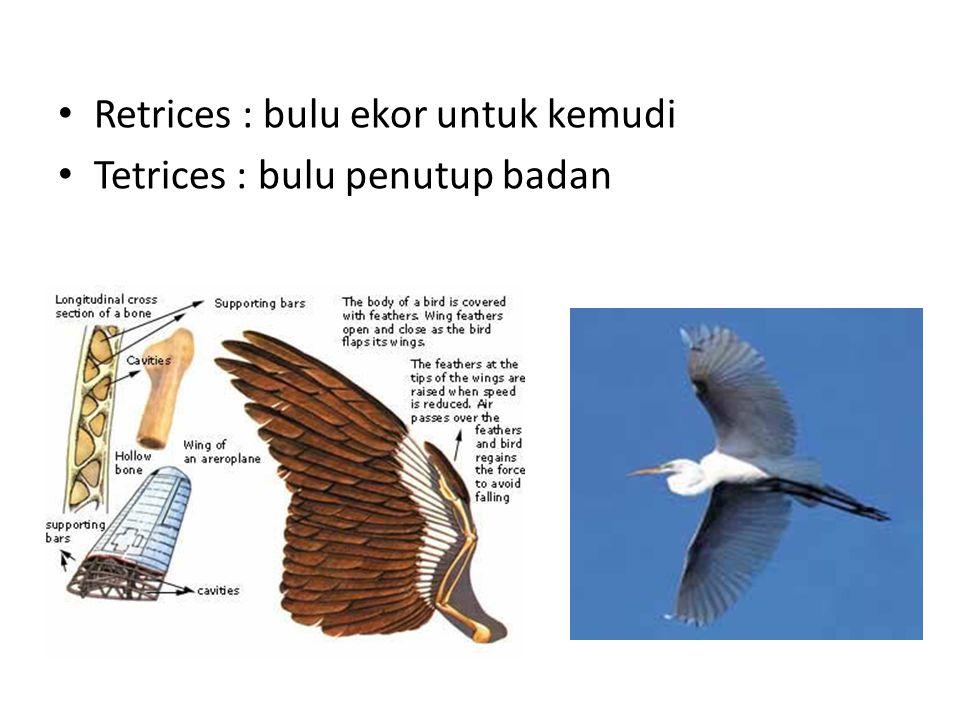 Retrices : bulu ekor untuk kemudi