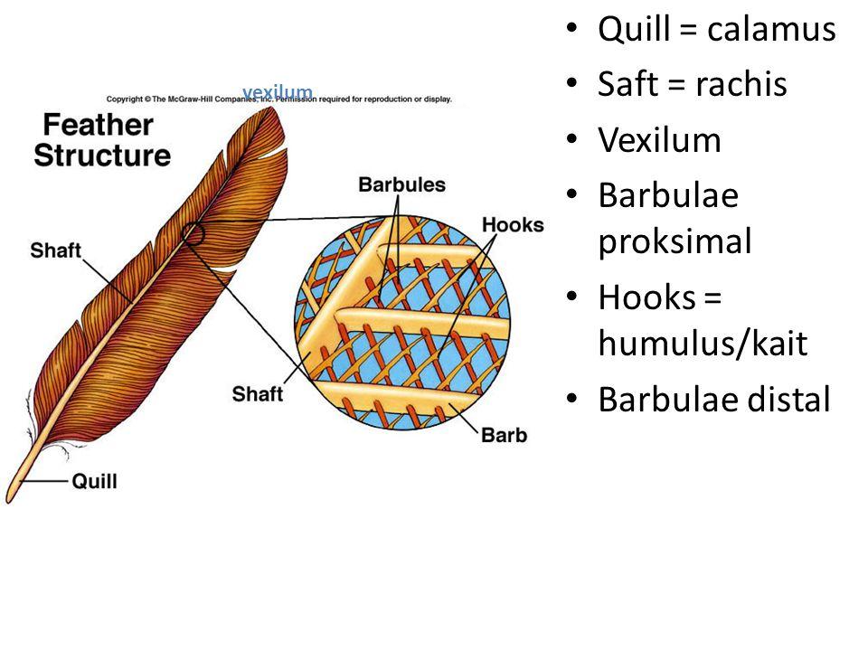 Quill = calamus Saft = rachis Vexilum Barbulae proksimal