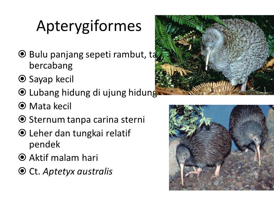 Apterygiformes Bulu panjang sepeti rambut, tak bercabang Sayap kecil