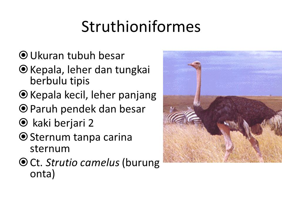 Struthioniformes Ukuran tubuh besar