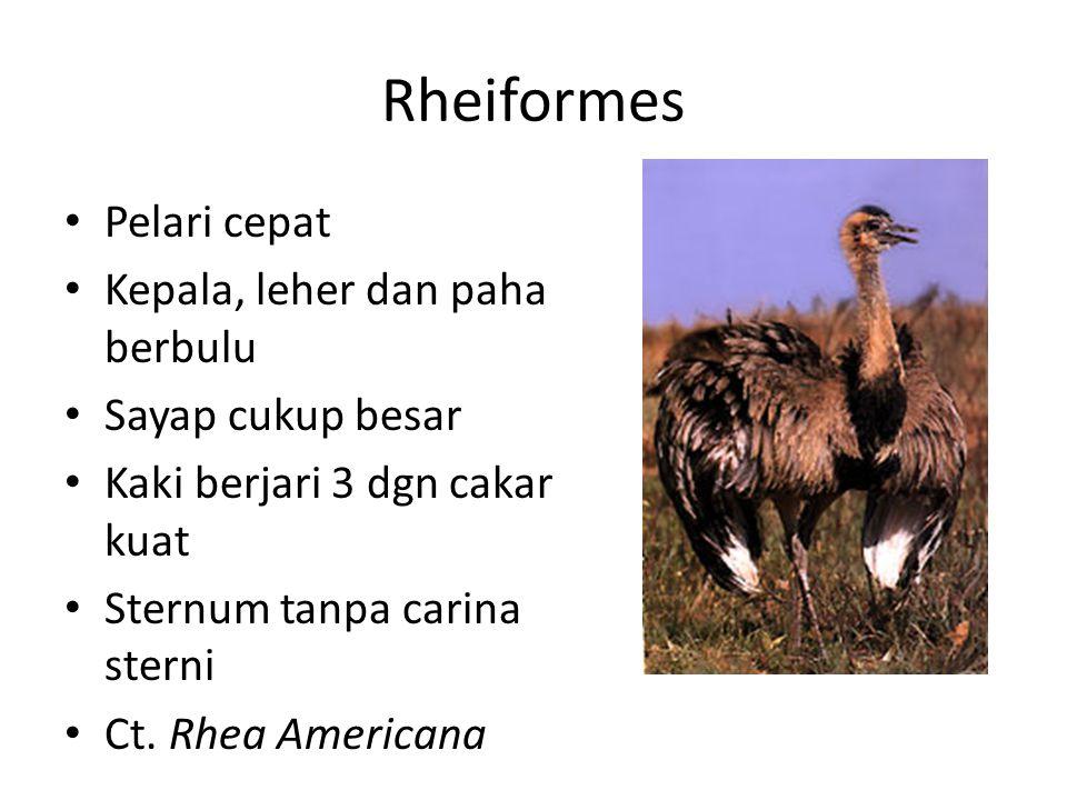 Rheiformes Pelari cepat Kepala, leher dan paha berbulu