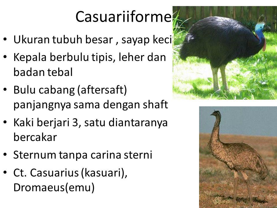 Casuariiformes Ukuran tubuh besar , sayap kecil