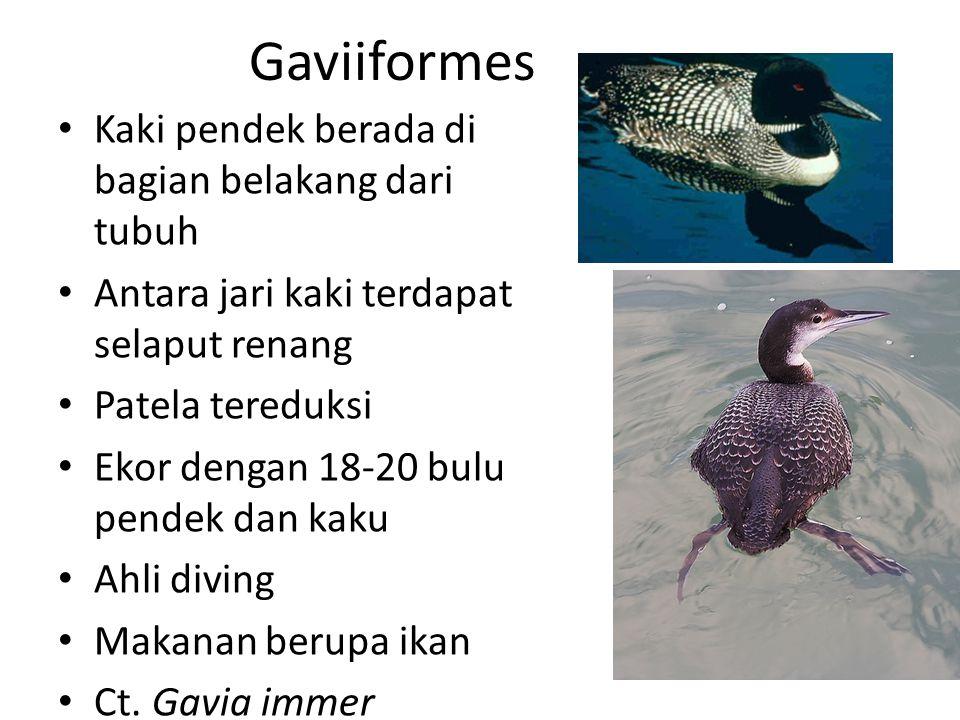 Gaviiformes Kaki pendek berada di bagian belakang dari tubuh