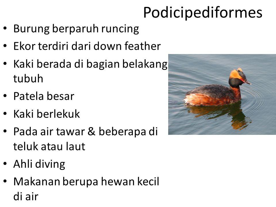 Podicipediformes Burung berparuh runcing