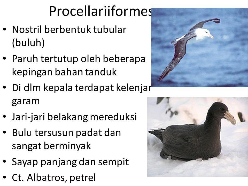 Procellariiformes Nostril berbentuk tubular (buluh)