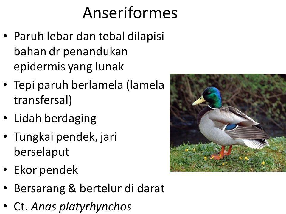 Anseriformes Paruh lebar dan tebal dilapisi bahan dr penandukan epidermis yang lunak. Tepi paruh berlamela (lamela transfersal)