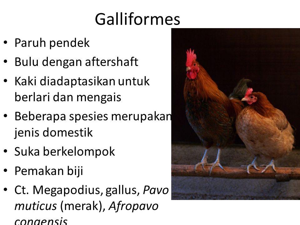 Galliformes Paruh pendek Bulu dengan aftershaft
