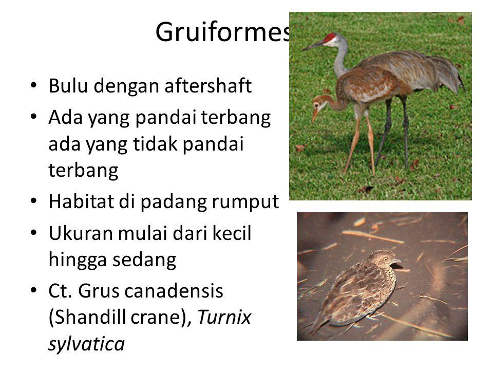 Gruiformes Bulu dengan aftershaft