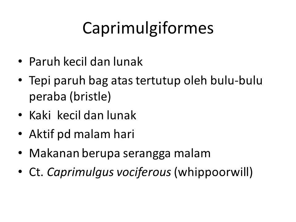 Caprimulgiformes Paruh kecil dan lunak