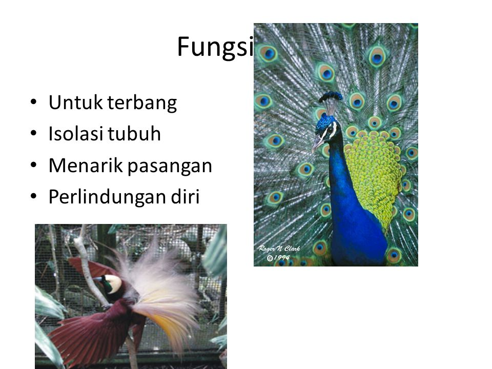 Fungsi bulu Untuk terbang Isolasi tubuh Menarik pasangan
