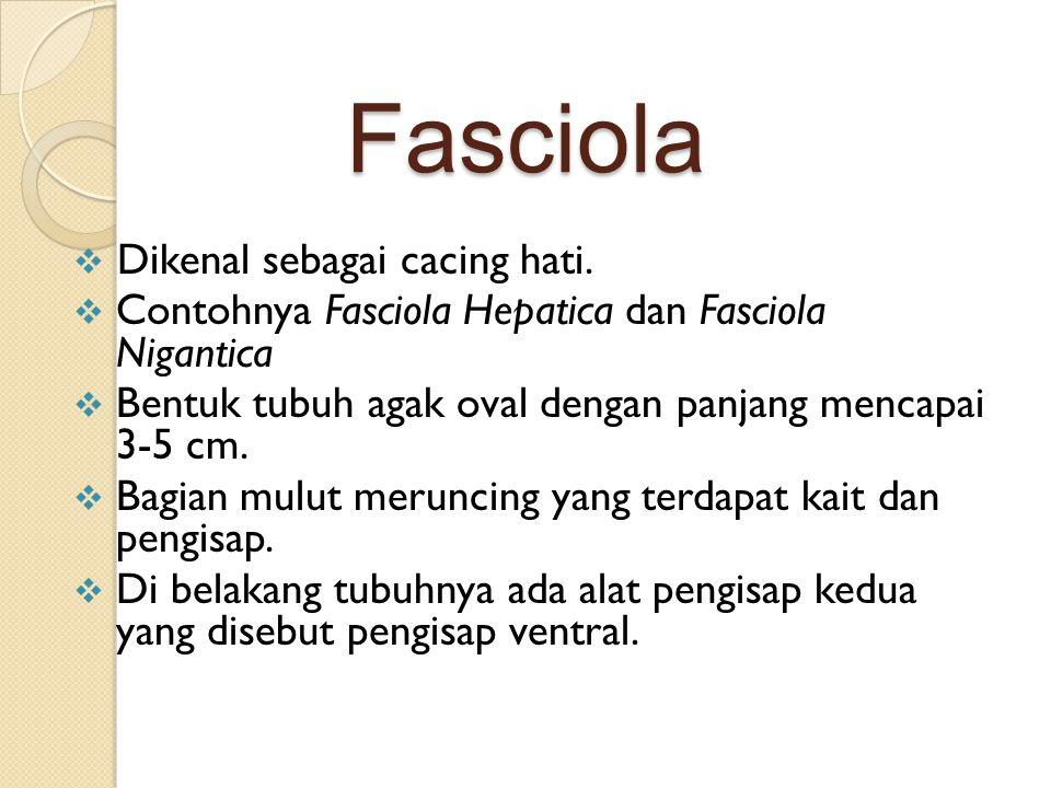 Fasciola Dikenal sebagai cacing hati.