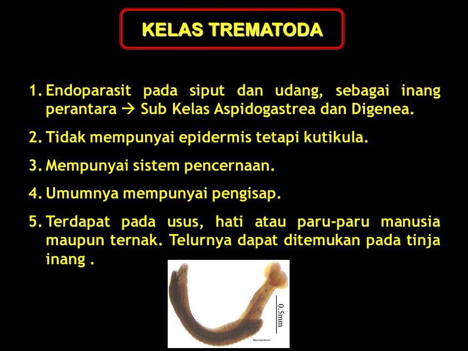 KELAS TREMATODA Endoparasit pada siput dan udang, sebagai inang perantara  Sub Kelas Aspidogastrea dan Digenea.