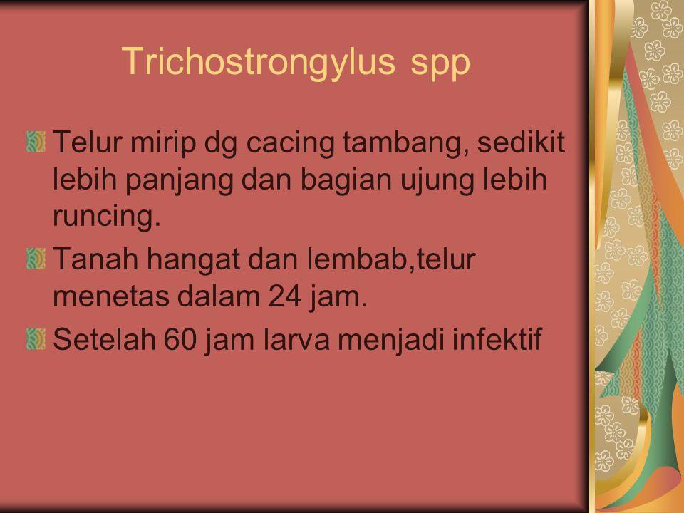 Trichostrongylus spp Telur mirip dg cacing tambang, sedikit lebih panjang dan bagian ujung lebih runcing.