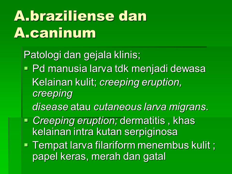 A.braziliense dan A.caninum