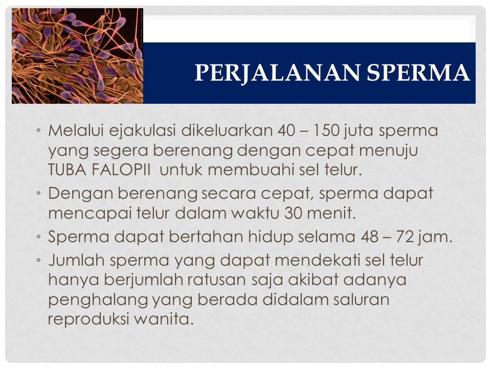 PERJALANAN SPERMA Melalui ejakulasi dikeluarkan 40 – 150 juta sperma yang segera berenang dengan cepat menuju TUBA FALOPII untuk membuahi sel telur.