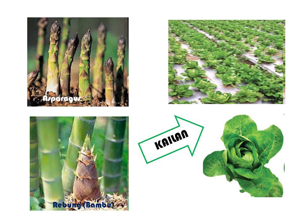 Asparagus KAILAN Rebung (Bambu)