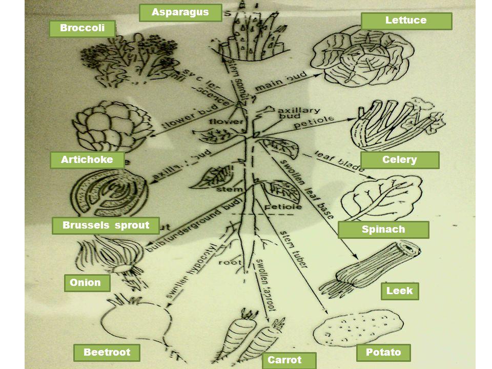 Asparagus Lettuce. Broccoli. Artichoke. Celery. Brussels sprout. Spinach. Onion. Leek. Beetroot.